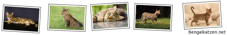 Bengalkatzen.net
